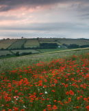 Millington Poppy Field