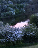 Pond Hawthorns