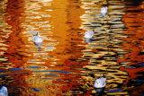 Ducks on the Cam
