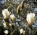 Magnolias - the coming of spring
