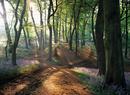 Spring Beech Wood & Bluebells