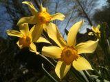 Narcissus Naphill Common