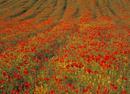 Summer Poppies & wild flowers