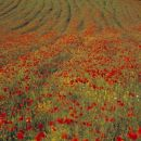 Poppies & Curves