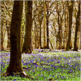 Bluebell Wood, Surrey