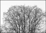 Crows in winter tree