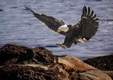 Eagle - Hornby Island, BC