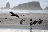 Pelicans at Cannon Beach, Wash. USA