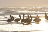 Pelicans at Cannon Beach
