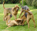 Playing is an important part of bloodhound life!
