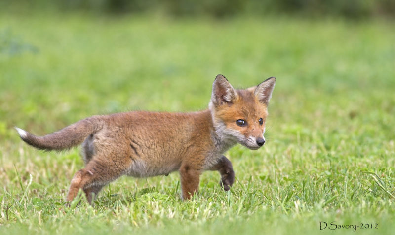 cute fox cubCute Fox Cubs