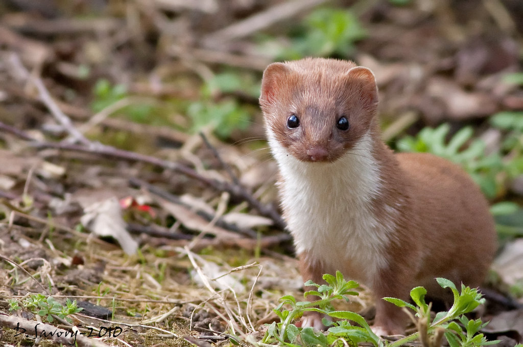 Stoat Definition What Is