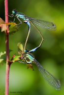 Two damselflies.