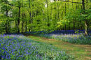 BLUEBELLS IN RECTORY WOOD