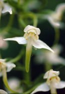 GREATER BUTTERFLY ORCHID - 2