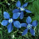 Spring Gentian