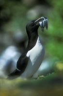 Razorbill with Sandeels