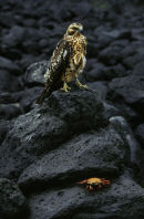 Galapagos Hawk and Sallylightfoot Crab