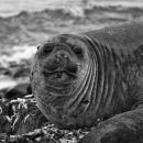 Southern Seal