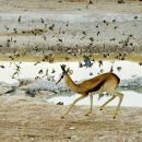 Nervous Springbok Spooks Birds at Waterhole