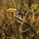 Yellow-Billed Ground Hornbill